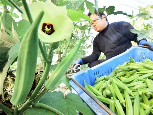 ビニールハウスの中で青々と育ち、収穫されるオクラ=9月6日、福井県福井市