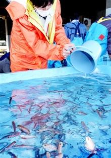 若狭ぐじ稚魚 福井県内初放流 おおい・大島漁協が6000匹