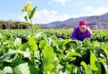 春野菜「黒河マナ」最高の出来栄え 敦賀市山で100年以上栽培、収穫最盛期