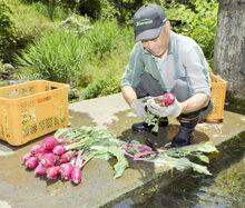 杉箸アカカンバ春物収穫始まる 敦賀の伝統野菜