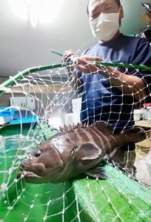高級魚県産「若狭まはた」本格出荷 北陸新幹線敦賀開業に向けた食の目玉