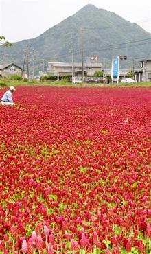赤いじゅうたん鮮やか クリムソンクローバー満開 高浜