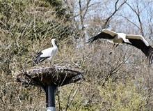 福井県小浜市でコウノトリ55年ぶり営巣