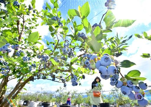 青藍色に熟し、収穫期を迎えたブルーベリー=6月13日、福井県福井市間山町