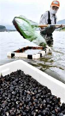 久々子湖シジミ次々 美浜で漁ピーク 身大きくぷりぷり食感