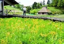 かれんな黄色湿地彩る 敦賀でサワオグルマ満開