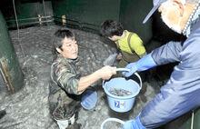 稚アユぴちぴち10万匹出荷 小浜の県栽培漁業センター
