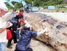 美浜町漂着の死骸はナガスクジラ 福井県立恐竜博物館などが断定