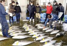 肥えたブリずらり、初市活気 福井県高浜町の若狭高浜漁協