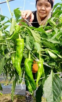 甘トウガラシ、特産化へ試験栽培 量、味に自信
