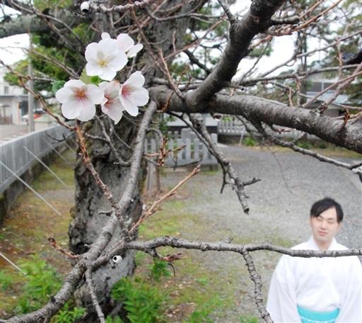 季節外れの花を咲かせているソメイヨシノ=10月4日、福井県坂井市の國神神社