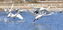 「冬の使者」例年の5倍 若狭町三方湖にコハクチョウ
