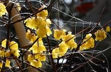 敦賀の常宮神社でロウバイが見頃 黄色い花、甘い香り
