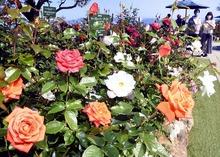 三方五湖山頂公園に600株のバラ 110種、甘い香りで来訪者癒やす