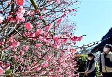 寒紅梅、早春を彩る 敦賀・常宮神社で満開