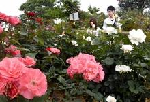 レインボーライン彩るバラの花 山頂公園、一帯包む甘い香り