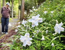 美浜の国吉城周辺彩るシャガの花 白や薄紫色、見頃迎える